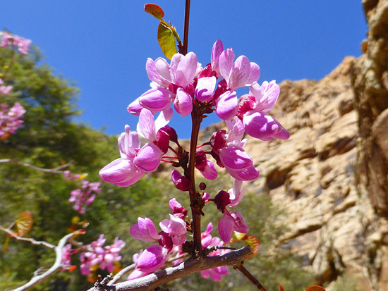 Red Bud Trees bloom in the shaded riparian corridor of Ice Box Canyon